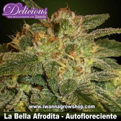 La Bella Afrodita – Autofloreciente – Delicious Seeds