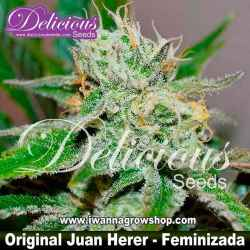 Original Juan Herer – Feminizada – Delicious Seeds