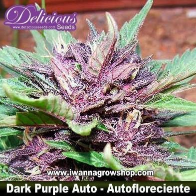 Dark Purple Auto – Autofloreciente – Delicious Seeds