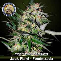 Jack Plant | Advanced Seeds | Feminizada