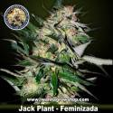 Jack Plant – Feminizada – Advanced Seeds