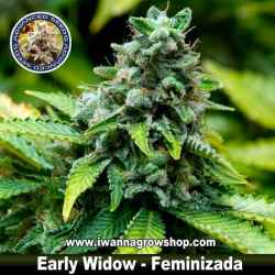 Early Widow – Feminizada – Advanced Seeds