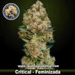 Critical – Feminizada – Advanced Seeds