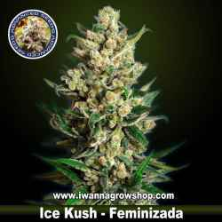 Ice Kush – Feminizada – Advanced Seeds