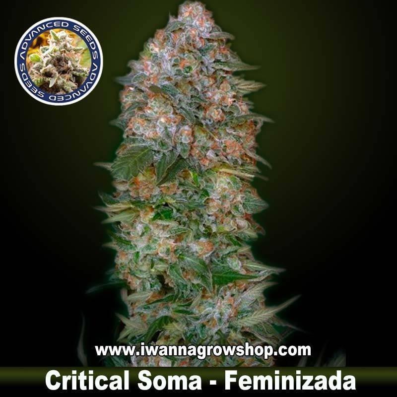 Critical Soma
