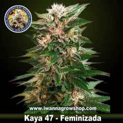 Kaya 47 – Feminizada – Advanced Seeds