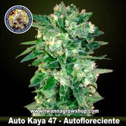 Auto Kaya 47 - Autofloreciente - Advanced Seeds