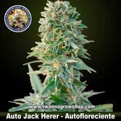 Auto Jack Herer – Autofloreciente – Advanced Seeds