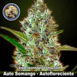 Auto Somango – Autofloreciente – Advanced Seeds