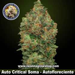 Auto Critical Soma – Autofloreciente – Advanced Seeds