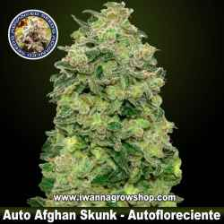 Auto Afghan Skunk – Autofloreciente – Advanced Seeds