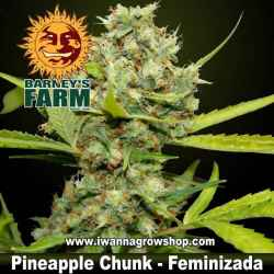 Pineapple Chunk - Barneys Farm - Feminizada