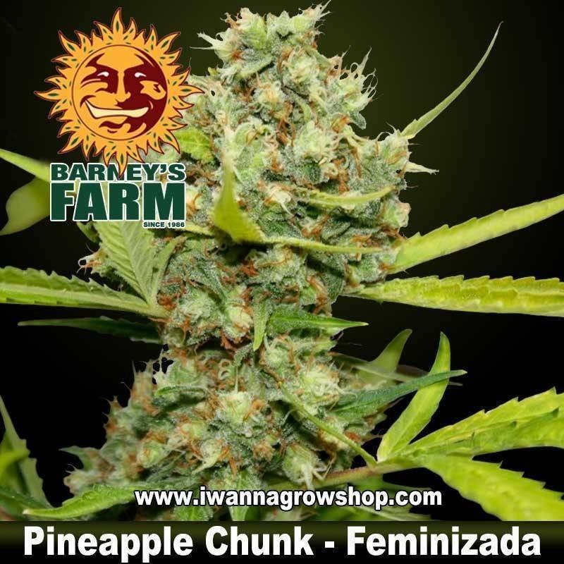 PINEAPPLE CHUNK de BARNEY'S FARM   Feminizada   Indica
