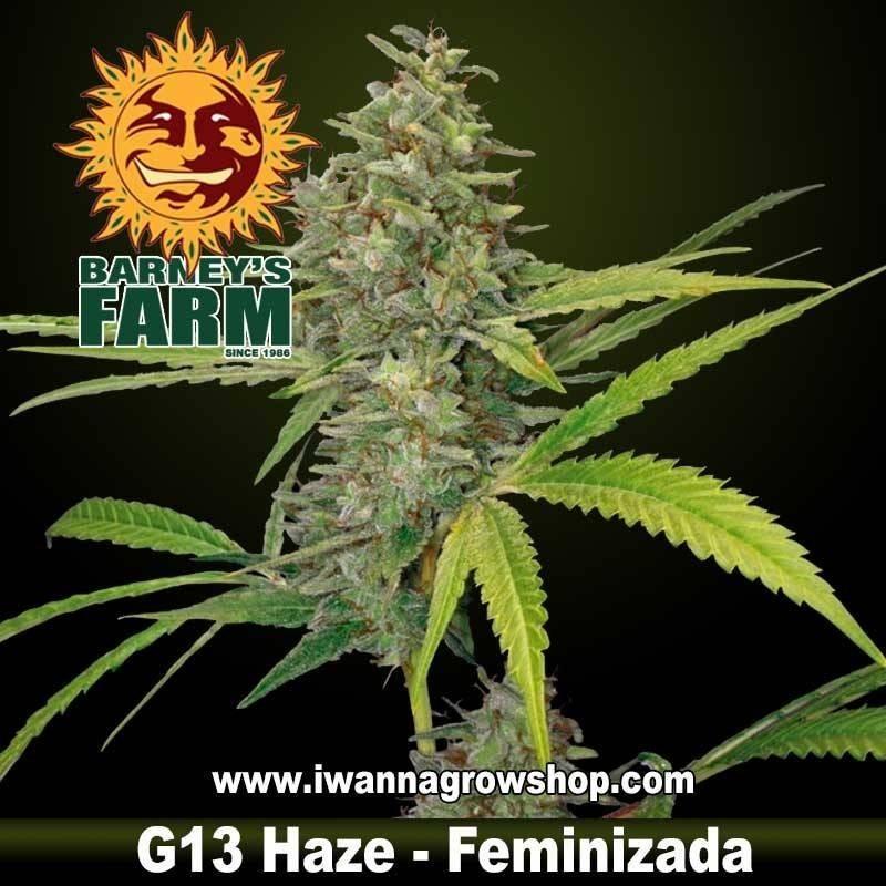 G13 HAZE de BARNEY'S FARM | Feminizada | Sativa