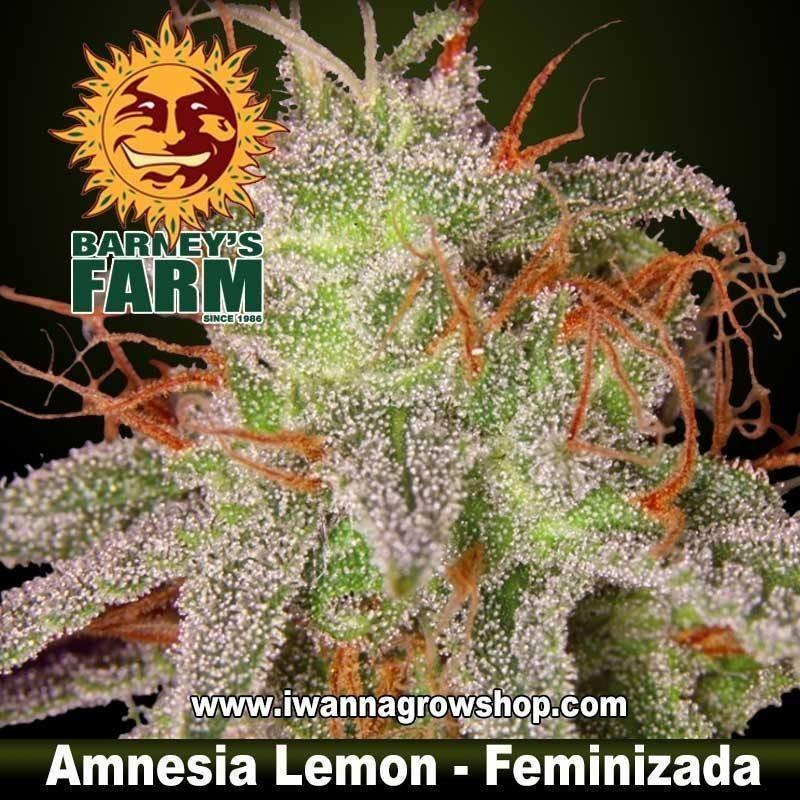 AMNESIA LEMON de BARNEY'S FARM | Feminizada | Híbrida