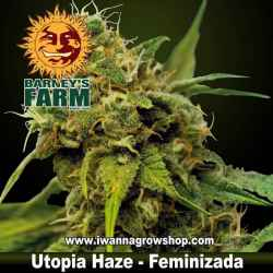 Utopia Haze - Barneys Farm - Feminizada