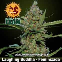 LAUGHING BUDDHA - Barneys Farm - Feminizada