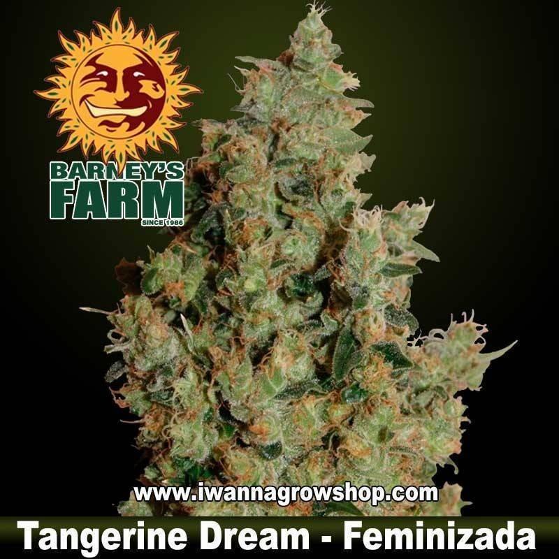 TANGERINE DREAM (BARNEY'S FARM) (FEMINIZADA) (INDICA-SATIVA)