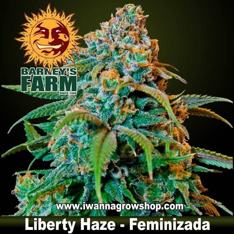 LIBERTY HAZE (BARNEY'S FARM) (FEMINIZADA) (SATIVA)