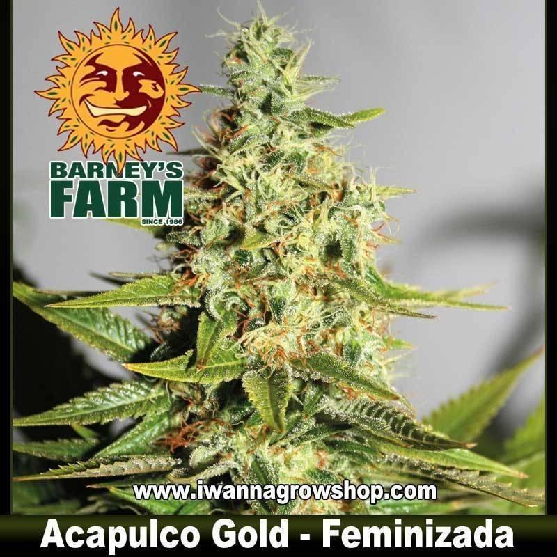 ACAPULCO GOLD (BARNEY'S FARM) (FEMINIZADA) (SATIVA)