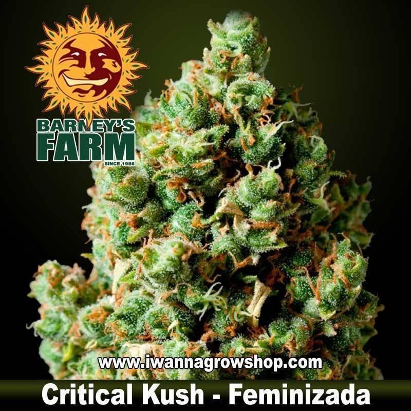 CRITICAL KUSH de Barney's Farm   Feminizada   Indica