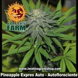 Pineapple Express Auto – Autofloreciente – Barney´s Farm