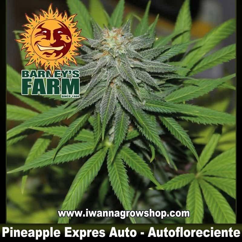 PINEAPPLE EXPRESS AUTO de BARNEY'S FARM | Autofloreciente | Indica