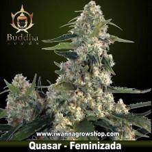 Quasar - Buddha Seeds - Feminizada