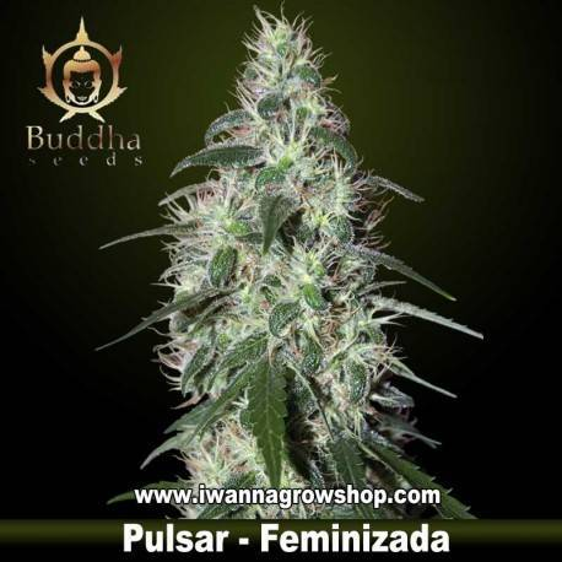 PULSAR de BUDDHA SEEDS – semilla feminizada (SATIVA)