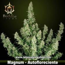 Magnum - Buddha Seeds - Autofloreciente
