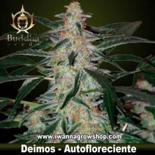 Deimos – Autofloreciente – Buddha Seeds