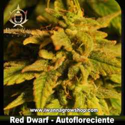 Red Dwarf - Buddha Seeds - Autofloreciente