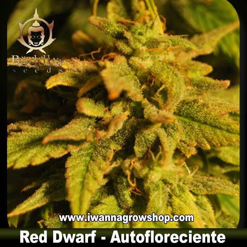 RED DWARF de BUDDHA SEEDS – semilla feminizada (AUTOMATICA)