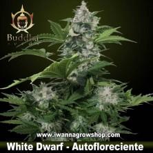 White Dwarf - Buddha Seeds - Autofloreciente