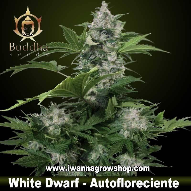 WHITE DWARF de BUDDHA SEEDS – semilla feminizada (AUTOMATICA)