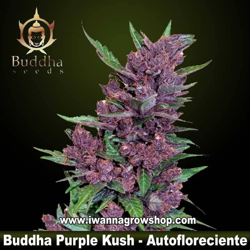 BUDDHA PURPLE KUSH de BUDDHA SEEDS – semilla (AUTOMATICA)