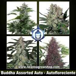 Assorted Auto - Buddha Seeds - Coleccion