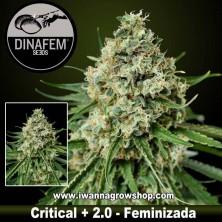 Critical+ 2.0 – Feminizada – Dinafem Seeds