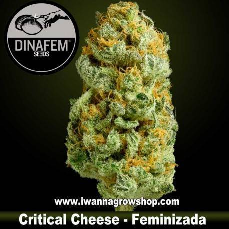 Critical Cheese