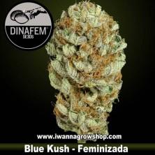 Blue Kush – Feminizada – Dinafem Seeds