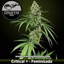 Critical + – Feminizada – Dinafem Seeds