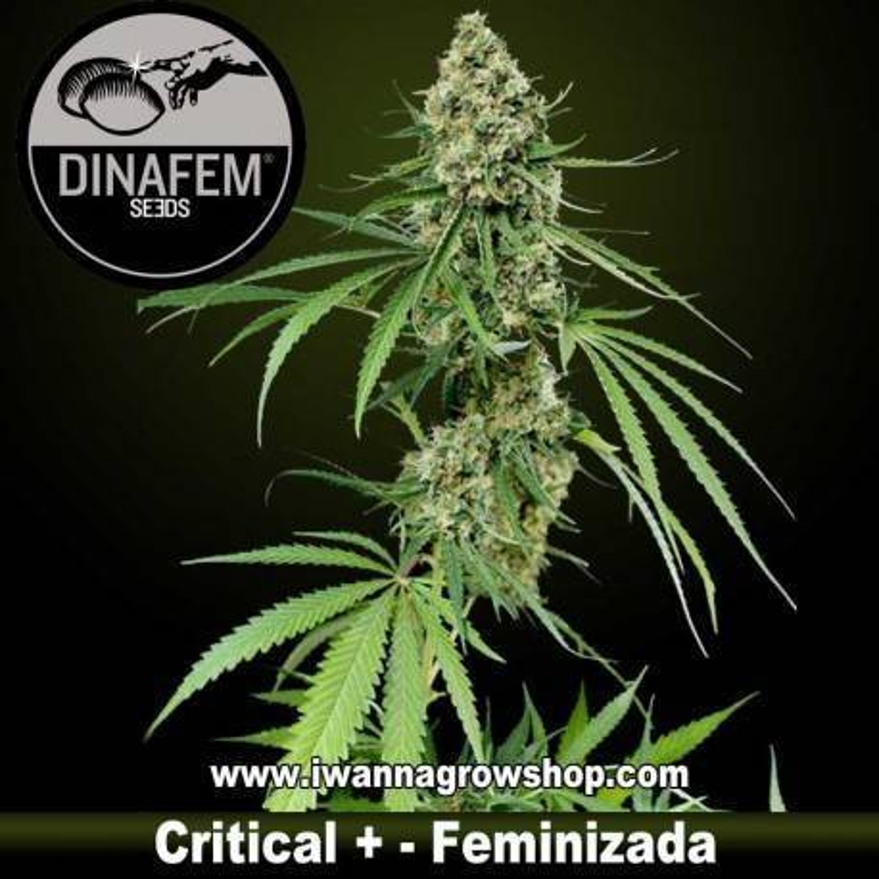 Critical + feminizada - Dinafem 1, 3, 5 y 10 u.