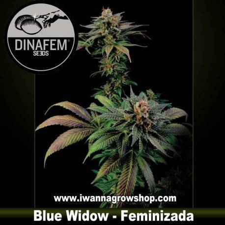 Blue Widow feminizada Dinafem 1, 3, 5 y 10 u.