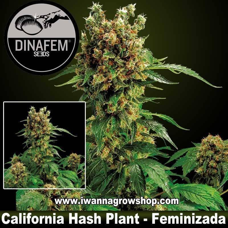 California Hash Plant feminizada Dinafem 1, 3, 5 y 10 u.