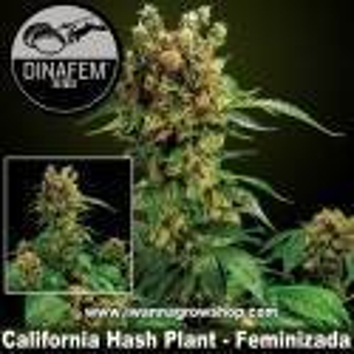 California Hash Plant – Feminizada