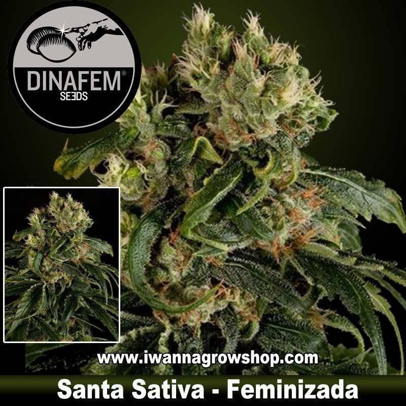 Santa Sativa feminizada Dinafem 1, 3, 5 y 10 u.