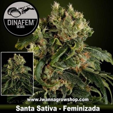 Santa Sativa - Dinafem - Feminizada
