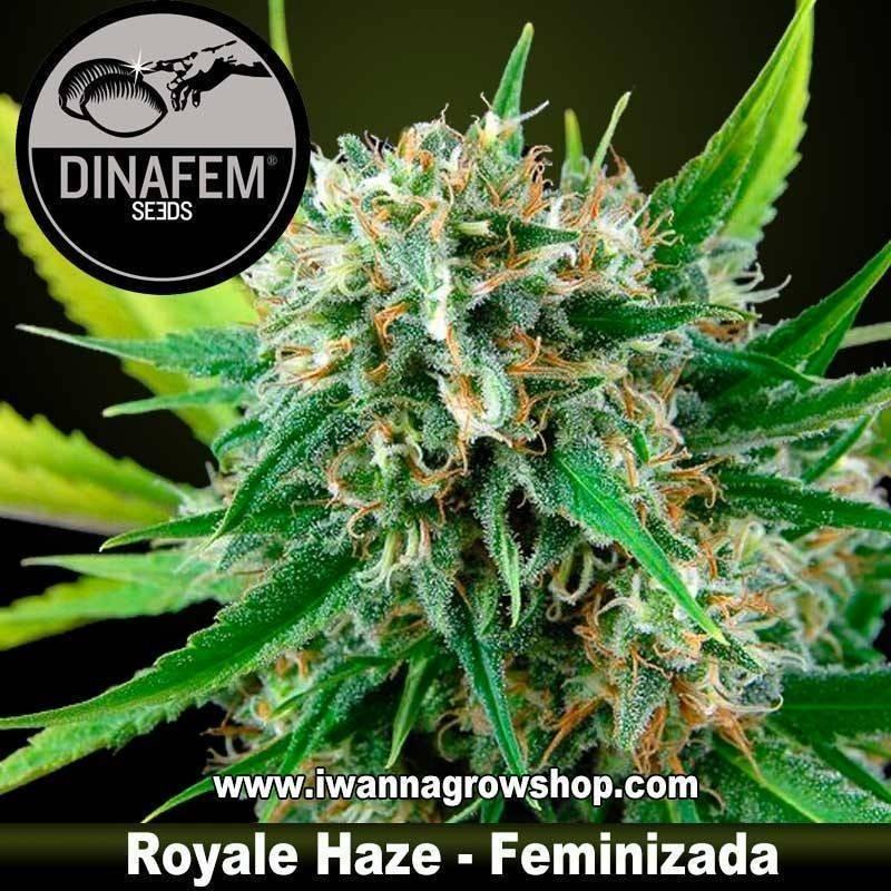 Royale Haze feminizada Dinafem 1, 3, 5 y 10 u.