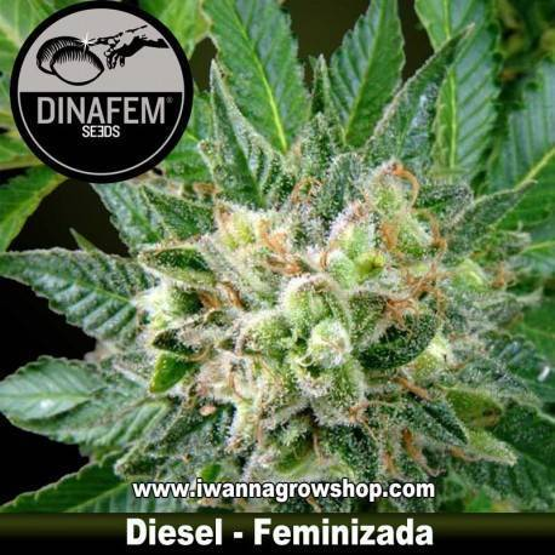 DIESEL de DINAFEM semilla feminizada (INDICA-SATIVA)