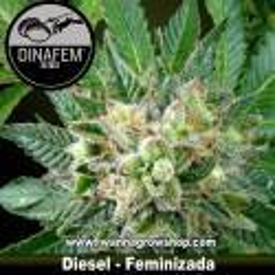 Diesel – Feminizada